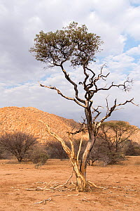 Shepherd's tree (Boscia albitrunca) covered in mud from tree termite activity , Erongo mountains, Namibia  -  Rhonda Klevansky