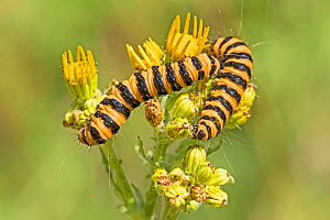 Cinnabar Moth caterpillars (Tyria jacobaeae) on their foodplant, common ragwort Brockley Cemetery, Lewisham, London, England, UK. July  -  Rod Williams