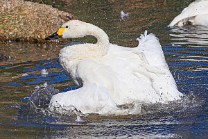 Bewick's Swan (Cygnus columbianus bewickii) One of a pair bathing  -  Rod Williams
