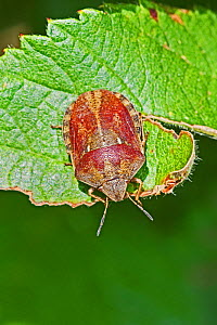 Tortoise Shieldbug (Eurygaster testudinaria) Colour variation Brockley Cemetery,Lewisham, London, England, UK. June 2015  -  Rod Williams