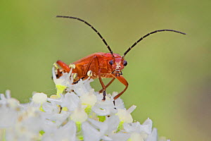 Common red soldier beetle (Rhagonycha fulva) with pollen-covered face, Brockley Cemetery, Lewisham, London, England, UK. June. - Rod Williams