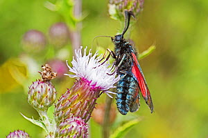 Six-spot burnet (Zygaena filipendulae) feeding on creeping thistle, and showing tongue Sutcliffe Park Nature Reserve, Eltham, London, England, UK. July 2017  -  Rod Williams