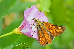 Large skipper butterfly (Ochlodes sylvanus) retracting its proboscis as it feeds on Field bindweed, Brockley Cemetery, Lewisham, London, England, UK. July. - Rod Williams