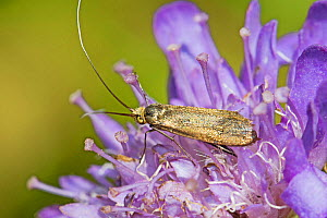 Brassy longhorn micro-moth (Nemophora metallica) on its food plant - Small scabious Hutchinson's Bank,New Addington, London, England, UK, May.  -  Rod Williams