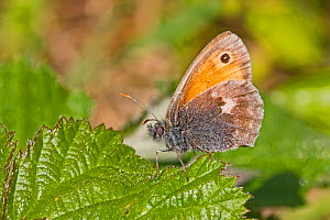Small heath butterfly (Coenonympha pamphilus) near Threatened Hutchinson's Bank, New Addington, London, England, UK, June.  -  Rod Williams
