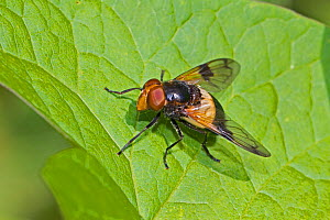 Great pied hoverfly (Volucella pellucens) male, Brockley Cemetery, Lewisham, London, England, UK, June. - Rod Williams