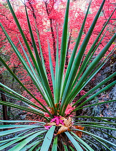 Yucca (Yucca schottii) plant with Bigtooth maple (Acer grandidentatum) autumn foliage in background. Cave Creek Canyon, Chiricahua Mountains, Coronado National Forest, Arizona, USA. November.  -  Jack Dykinga