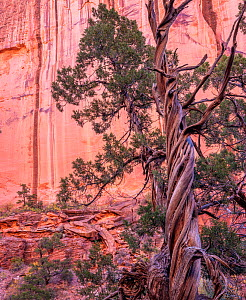 Utah juniper (Juniperus osteosperma) with twisted trunk, wall of Long Canyon in background. Grand Staircase-Escalante National Monument, Utah, USA. October.  -  Jack Dykinga