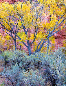 Cottonwood (Populus sp) trees and Sagebrush (Artemisia sp), Long Canyon at the confluence with The Gulch. Grand Staircase-Escalante National Monument, Utah, USA. October.  -  Jack Dykinga