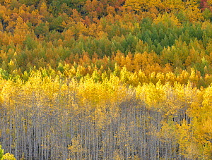 Aspen (Populus tremuloides) forest. Uncompahgre National Forest, Colorado, USA. September 2019. - Jack Dykinga