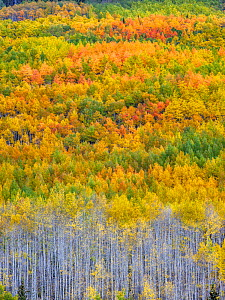 Aspen (Populus tremuloides) forest in autumn. Uncompahgre National Forest, Colorado, USA. September 2019.  -  Jack Dykinga