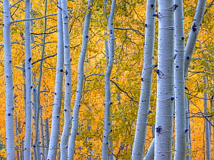 Aspen (Populus tremuloides) tree trunks in autumn. Uncompahgre National Forest, Colorado, USA. September 2019. - Jack Dykinga