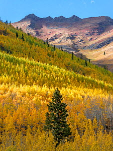 Aspen (Populus tremuloides) forest with scattered Englemann spruce (Picea engelmannii) in autumn, Hayden Mountain in background. Uncompahgre National Forest, Colorado, USA. September 2019. - Jack Dykinga