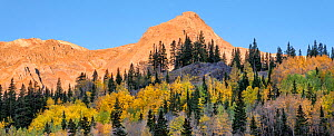 Aspen (Populus tremuloides) and Englemann spruce (Picea engelmannii) forest, Red Mountain in background. Uncompahgre National Forest, Colorado, USA. October 2019. - Jack Dykinga