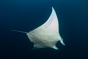 Reef manta ray (Manta alfredi) at cleaning station to allow small reef fish to clean it of skin parasites. Helengheli Thila, North Male Atoll, Maldives  -  Tui De Roy