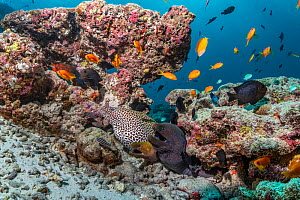 Three moray eels (Gymnothorax) and tropical fish in mostly dead or dying coral reef following several bleaching events, Maldives  -  Tui De Roy