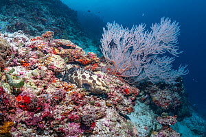 Maldives tropical reef community. Grouper on mostly dead or dying coral reef following several bleaching events, the latest in 2016. Kurumba, Male Atoll, Maldives  -  Tui De Roy