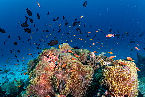 Maldives tropical reef community. Giant sea anemones with Pink anemonefish (Amphiprion perideraion) taking over dead or dying coral reef following several bleaching events, the latest in 2016. Nelivar...  -  Tui De Roy
