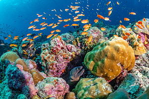 Maldives tropical reef community. Morray eel and tropical fish in mostly dead or dying coral reef following several bleaching events, the latest in 2016. Dhonfanu Thila, Baa Atoll, Maldives  -  Tui De Roy