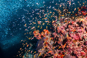 Mixed fish species schooling over mostly dead or dying coral reef following several bleaching events, the latest in 2016. Christmas Rock, Noonu Atoll, Maldives.  -  Tui De Roy