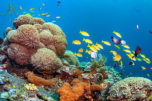 Bali tropical reef community. Tropical reef community comprising numerous colourful invertabrates and fish.Tulamben, North coast, Bali, Indonesia. Lesser Sunda Islands.  -  Tui De Roy
