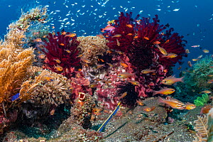 Coral reef community with many fish and invertebrates. Tulamben, North coast, Bali, Indonesia.  -  Tui De Roy