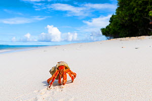 Strawberry land hermit crab (Coenobita perlatus).  On white coral sand beach, Small unhinhabited coral islet in Raa Atoll lagoon, Maldives  -  Tui De Roy