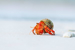 Strawberry hermit crab (Coenobita perlatus) on white coral sand beach, Small unhinhabited coral islet in Raa Atoll lagoon, Maldives  -  Tui De Roy