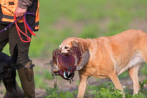 Labrador carrying a Common pheasant (Phasianus colchicus) Bas-Rhin, France, November.  -  Sylvain Cordier