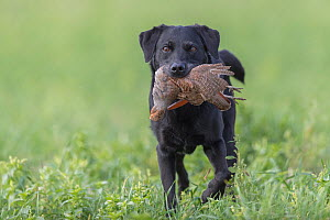 Labrador dog retrieving a grey partridge (Perdix perdix) -Rhin, France, November.  -  Sylvain Cordier