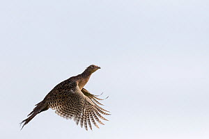 Common Pheasant (Phasianus colchicus), hen in flight, Bas-Rhin, France, November.  -  Sylvain Cordier