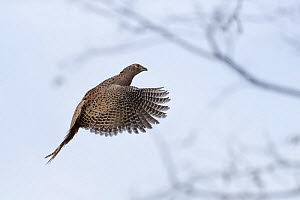 Common Pheasant (Phasianus colchicus), female in flight, , Bas-Rhin, France, November.  -  Sylvain Cordier