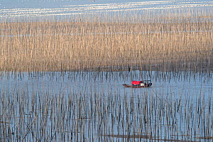 Fishing poles and bamboos at low tide, Bamboos used for fishing, aquaculture  -  Sylvain Cordier