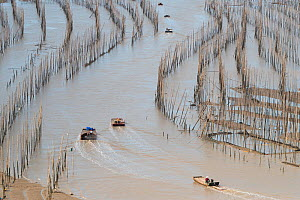 Men on rafts at low tide, moving through bamboo poles used for fishing and aquaculture. Xiapu County, Fujiang Province, China  -  Sylvain Cordier