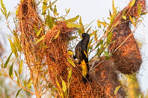 Yellow-rumped cacique (Cacicus cela ) at nest, Pantanal, Mato Grosso, Brazil.  -  Sylvain Cordier
