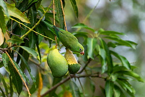 Yellow-chevroned parakeet (Brotogeris chiriri), adult eating mango, Pantanal, Mato Grosso, Brazil.  -  Sylvain Cordier