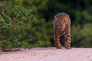 RF - Jaguar (Panthera onca),hunting along the water, Pantanal, Mato Grosso, Brazil. (This image may be licensed either as rights managed or royalty free.)  -  Sylvain Cordier