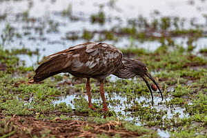 Plumbeous ibis (Theristicus caerulescens), eating a red crab, Pantanal, Mato Grosso, Brazil.  -  Sylvain Cordier