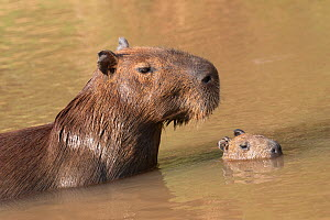 RF - Capybara (Hydrochaeris hydrochaeris) with young in water, Pantanal, Mato Grosso, Brazil. (This image may be licensed either as rights managed or royalty free.) - Sylvain Cordier