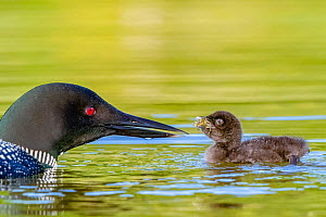Common loon (Gavia immer) parents with chick, feeding with a crayfish, Michigan, USA. June.  -  Sylvain Cordier