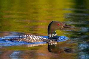 Common loon (Gavia immer), nest on a lake , Michigan, USA. June.  -  Sylvain Cordier