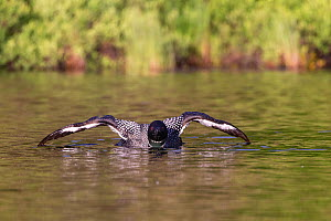 Common loon (Gavia immer), wing flapping on a lake, Michigan, USA. June.  -  Sylvain Cordier