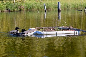 Common Loon (Gavia immer), nest on a lake, artificial platform , Michigan, USA. June. - Sylvain Cordier