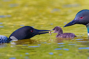 Common loon (Gavia immer) pair feeding chick crayfish , Michigan, USA. June.  -  Sylvain Cordier