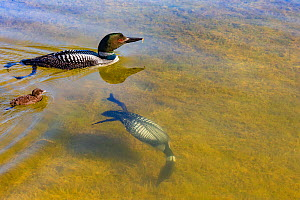 Common Loons (Gavia immer) one diving underwater , Michigan, USA. June.  -  Sylvain Cordier