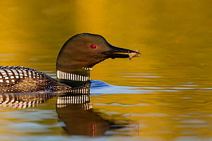 Common loon (Gavia immer) carrying crayfish for young, Michigan, USA. June.  -  Sylvain Cordier