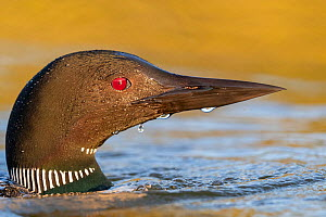 Common loon (Gavia immer), on a lake, Michigan, USA. June.  -  Sylvain Cordier