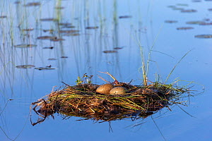 Common loon (Gavia immer) nest with eggs on lake , Michigan, USA. June.  -  Sylvain Cordier