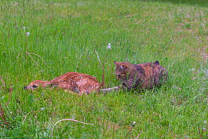 White-tailed deer (Odocoileus virginianus), fawn in grass near by a lake with a curious domestic cat, Michigan, USA, June  -  Sylvain Cordier