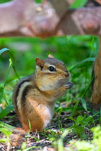 Eastern chipmunk (Tamias striatus) feeding, Michigan, USA, June.  -  Sylvain Cordier